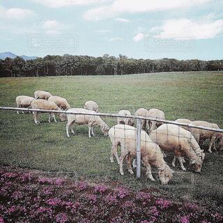 【北海道の旅写真】羊ヶ丘展望台🐑の写真・画像素材[981801]