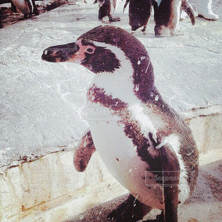 【北海道の旅写真】旭山動物園𓅔 - No.991461