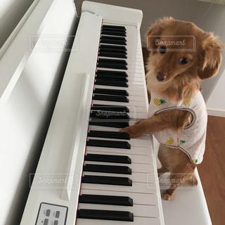 ピアノの上に座って犬の写真・画像素材[972118]