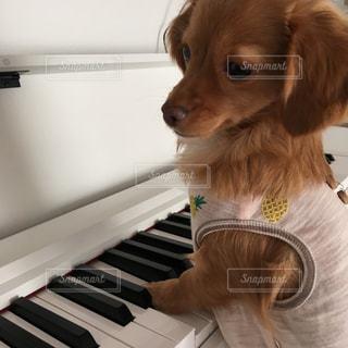 ピアノ弾くはなちゃんの写真・画像素材[972119]