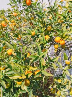 毎年庭に金柑の写真・画像素材[1012039]