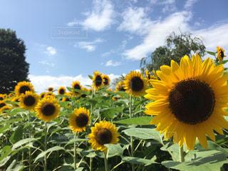 黄色の花の束の写真・画像素材[967151]