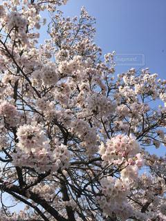 桜 - No.977513