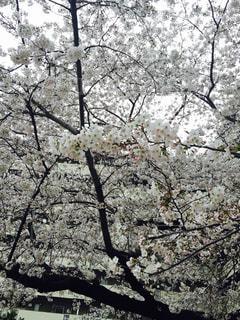 桜 - No.977515