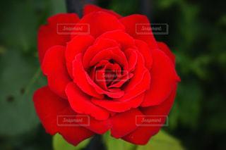 真っ赤なバラの写真・画像素材[966999]