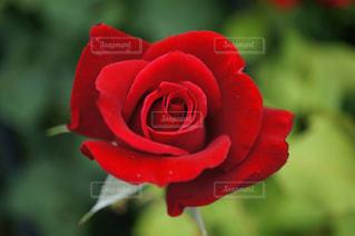 真っ赤なバラの写真・画像素材[967109]