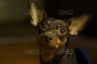 カメラを見て犬の写真・画像素材[969606]