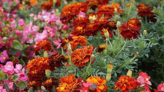 植物にピンクの花の写真・画像素材[967156]
