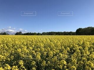 菜の花畑2の写真・画像素材[1389599]