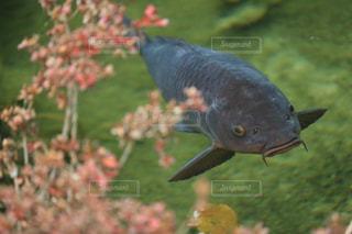 黒鯉upの写真・画像素材[967703]