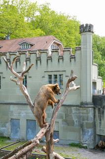 木に登る熊の写真・画像素材[977183]