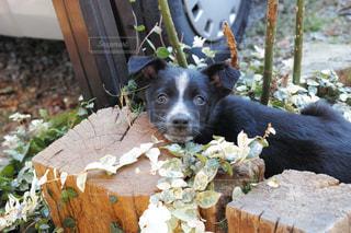 ボーダーコリーの子犬 - No.969037