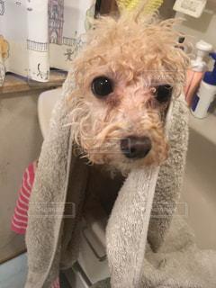 風呂上がりのワンコの写真・画像素材[967587]