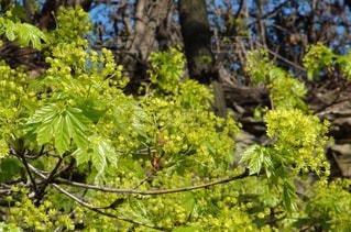 春の新芽の写真・画像素材[1003454]