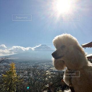 富士山と犬 新倉山浅間公園の写真・画像素材[967885]
