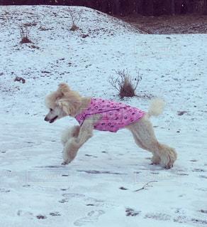 雪の上を走る犬の写真・画像素材[967891]