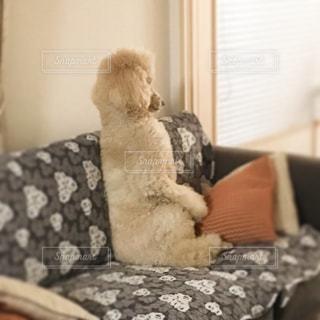 ソファの上に座っている犬の写真・画像素材[967893]