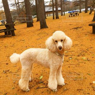 黄色い落ち葉の中にいる犬の写真・画像素材[968949]