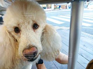 テーブルの下の犬の写真・画像素材[968952]