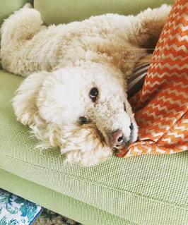 ソファに寝てる犬の写真・画像素材[968954]