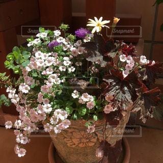 紫色の花一杯の鉢の写真・画像素材[969001]