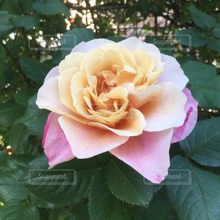 近くの花のアップ薔薇の写真・画像素材[969181]