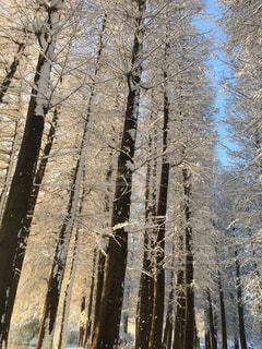 雪の木立ちの写真・画像素材[972948]