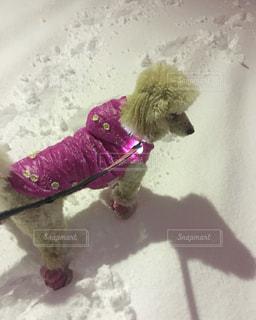 雪の中の犬の写真・画像素材[2436647]