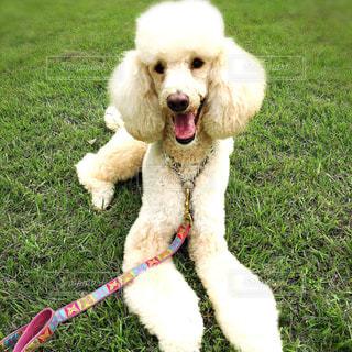 草の上に伏せている犬の写真・画像素材[2436648]