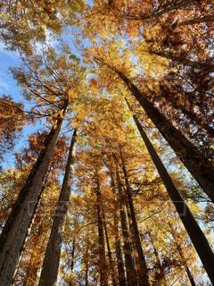 紅葉の木の写真・画像素材[3927985]
