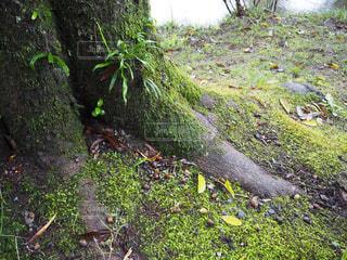 落ち着いた木の根の写真・画像素材[969084]