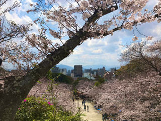 桜祭りの景観の写真・画像素材[3059838]