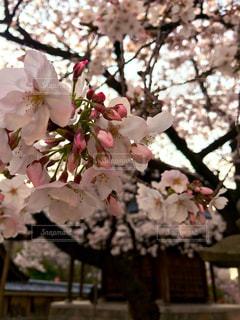 夕方の桜の写真・画像素材[3059836]