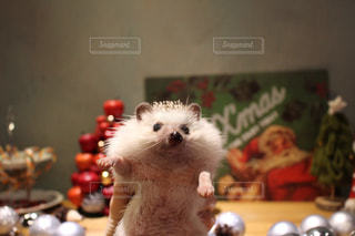 ハリネズミのクリスマスの写真・画像素材[969329]