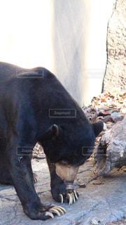 マレー熊の写真・画像素材[983965]
