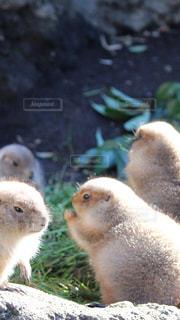 恋するプレーリードッグの写真・画像素材[983971]