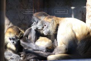 猿の親子の写真・画像素材[984040]