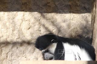 猿の写真・画像素材[984043]