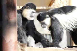 黒の背景に座っている猿の写真・画像素材[984044]