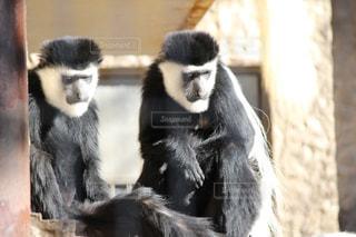 猿の親子の写真・画像素材[984045]