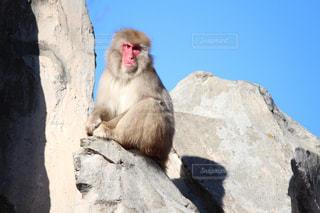 岩の上に座っている猿の写真・画像素材[984047]