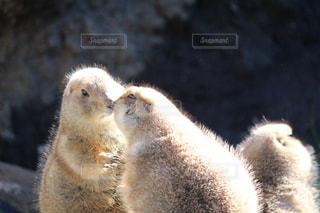 キスするプレーリードッグの写真・画像素材[984074]