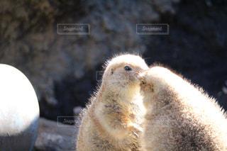 キスするプレーリードッグの写真・画像素材[984076]