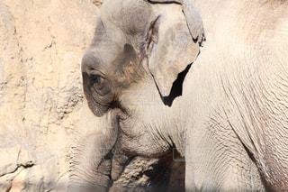 ゾウの写真・画像素材[984129]