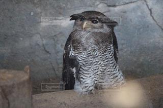 鳥を見てフクロウ - No.984170