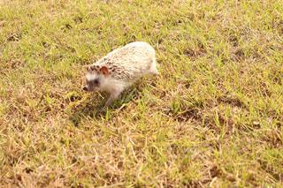 芝生を走るはりねずみの写真・画像素材[984330]