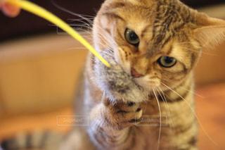 カメラを見ている猫の写真・画像素材[992975]