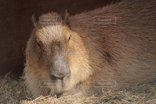 カメラを見て齧歯動物の写真・画像素材[992987]
