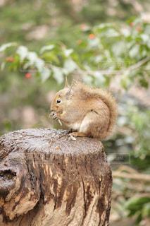 近くの枝にリスのアップの写真・画像素材[993025]