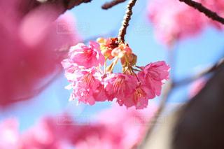 木場の河津桜の写真・画像素材[1049639]